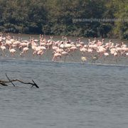Flamingos in thousands