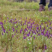kas valley of flowers satara