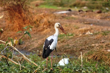 Asian openbill Bhigwan