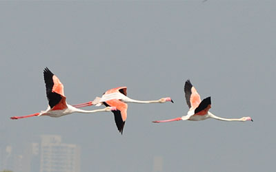 Flamingos in thane