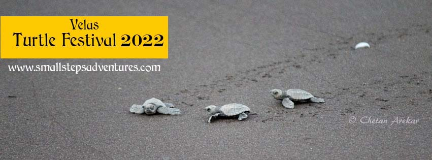 Velas turtle festival 2020 dates